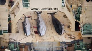 File photo: Three minke whales dead on the deck of the Japanese factory ship Nisshin Maru inside a Southern Ocean sanctuary, according to anti-whaling activists Sea Shepherd, 5 January 2014