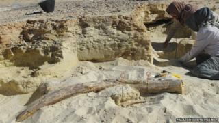 Workers inspect an ancient Palaeoloxodon tusk in the Nafud desert