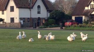 Beyton geese