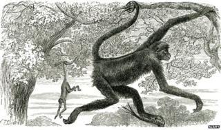 American monkeys C.19th drawing
