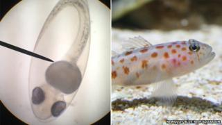 Leopard spot goby under microscope. Pic: Newquay Blue Reef Aquarium