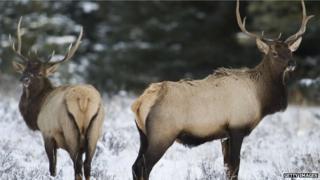 Elk in Canada