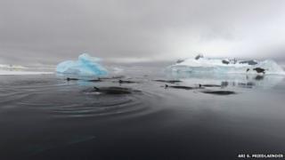 Antarctic minke whale