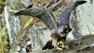 Peregrine chick at Plymbridge Woods (Pic: Steve Waterhouse)