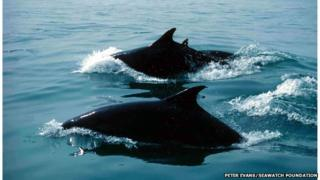 Dolphins swimming in Cardigan Bay