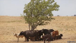 Cattle use a tree for shade as temperatures rose above 100 degrees in a pasture near Canadian, Texas 28 July 2011