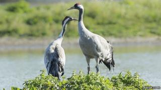 Cranes at Wildfowl and Wetlands Trust in Gloucestershire