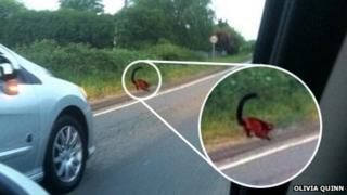 Red-ruffed lemur on roadside