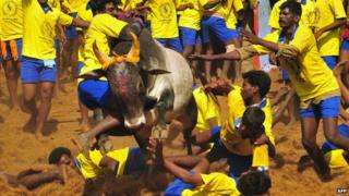 Bullfighting in Tamil Nadu in 2013