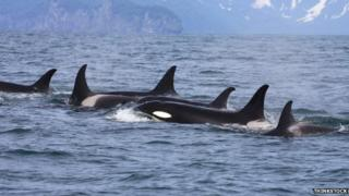 Hebridean expedition to study endangered killer whales