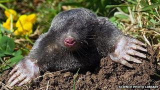 European mole