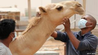 People wear masks while working with a camel