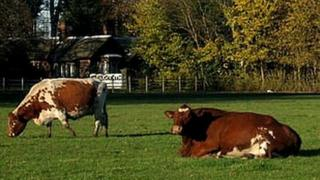 Irish Moiled cattle at Croxteth Country Park