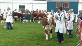 The incident happened in the cattle lawn at the show