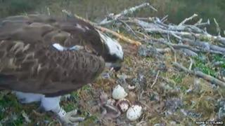 Osprey chick at Loch Garten
