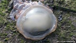 Barrel jellyfish washed up
