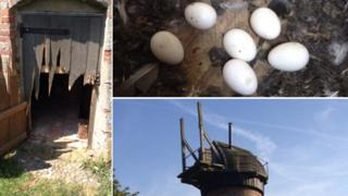 Barn owl eggs and a smashed door at Toft Monks Mill