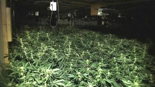 Cannabis plant factory in Soham