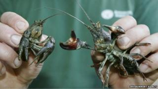 The native white-clawed crayfish (L) and the American signal crayfish (R)