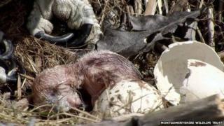 The osprey chick