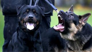 German Shepherd police dog Archie, right, barks at Buster, a Rottweiler police dog at Greater Manchester Police's dog training unit