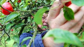 Harvesting apples for cider