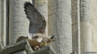 Peregrine falcon chick YT