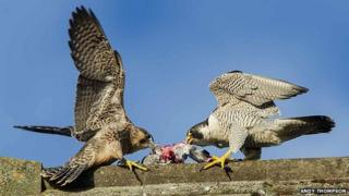 Peregrine juveniles feeding at Norwich Cathedral