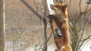 Fox jumping at bird feeder