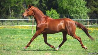 A horse in motion