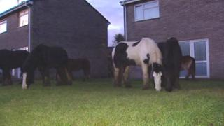 Horses grazing on a housing estate at Bridgend
