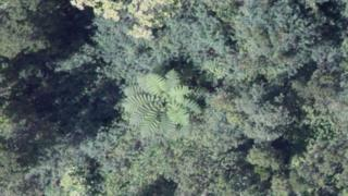 Aerial image of an Australian fern tree in native forest, Hawaii