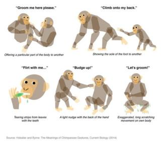Chimpanzee language: Communication gestures translated