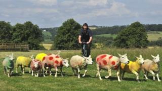 Sheep painted in Tour de France colours
