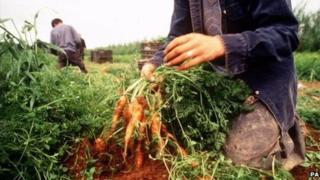 A farm worker harvesting carrots