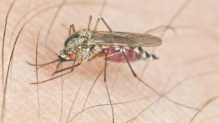 Mosquito with parasite sucking blood