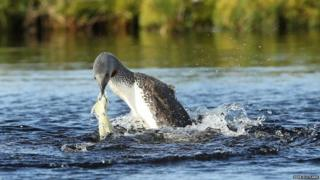 Red-throated diver with plastic bag