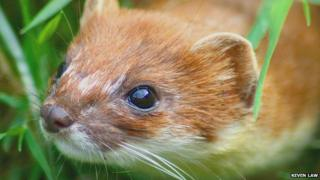 File image of a stoat