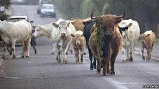 Cattle in Reydon, Suffolk