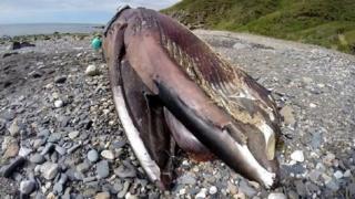 Minke whale, Isle of Man