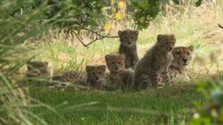 The five cubs at Port Lympne