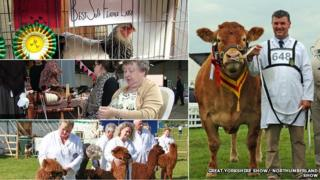 Prize-winning cattle and alpaca