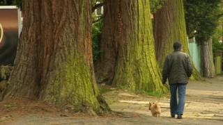 Redwood tree in Humberstone