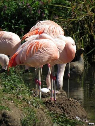 Flamingos standing over an egg