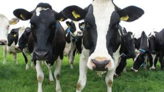 Dairymaster cows in a field