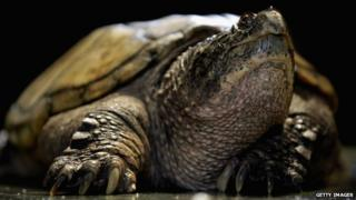 Snapping turtle in Japan