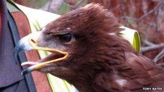Storm the Russian steppe eagle