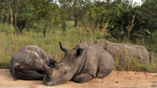 Rhinos resting in Kruger National Park south africa in August 12 2014