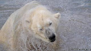 Polar bear Victor