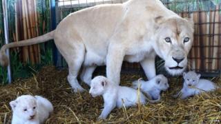 Lion cubs at circus